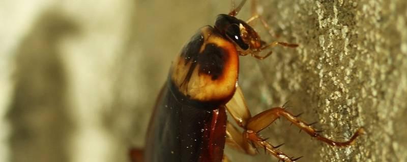 蟑螂会被淹死吗