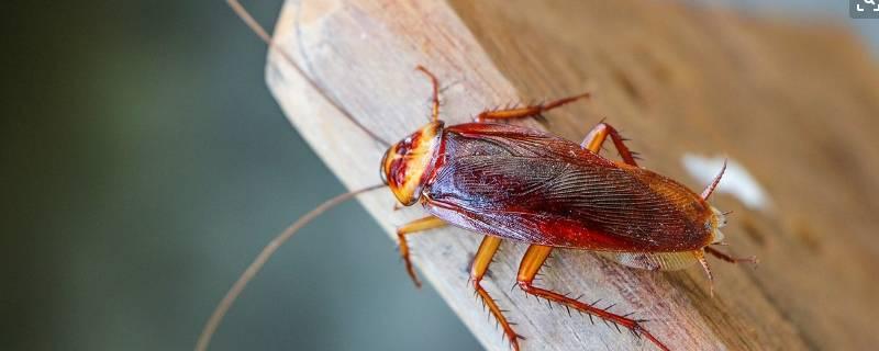 如何清除蟑螂