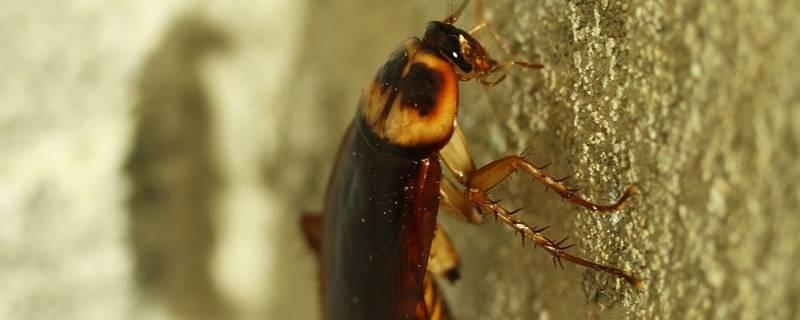 蟑螂留下的黑点是什么