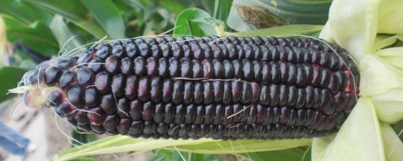 吃紫色玉米手怎么洗掉