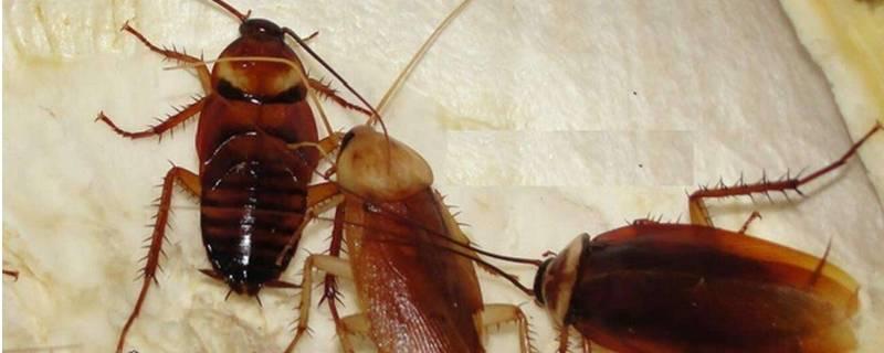 蟑螂一般躲在家里的什么地方