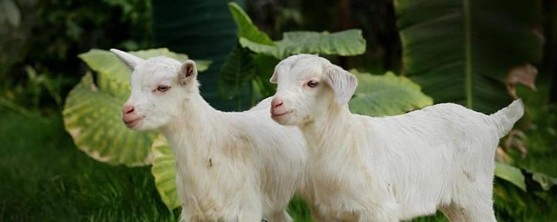 羊用什么来辨味