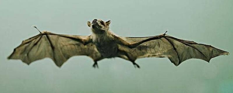 蝙蝠有什么特点