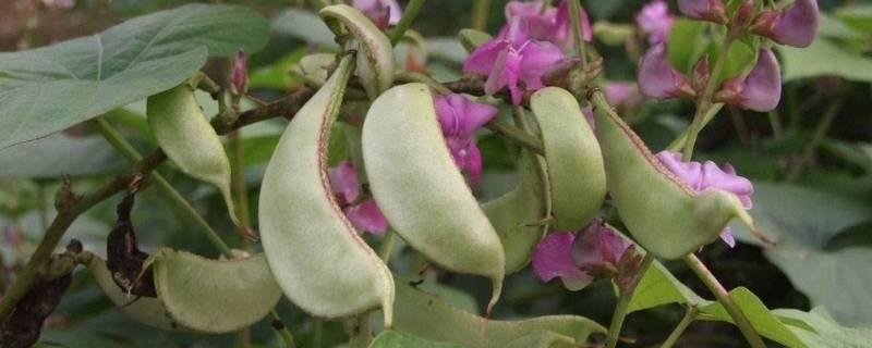 扁豆怎样保存能放的时间长
