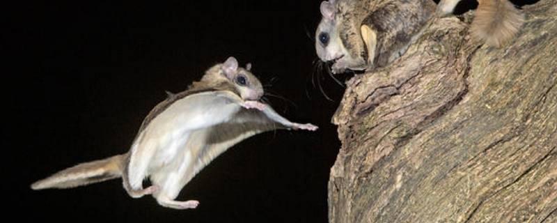 鼯鼠是什么动物