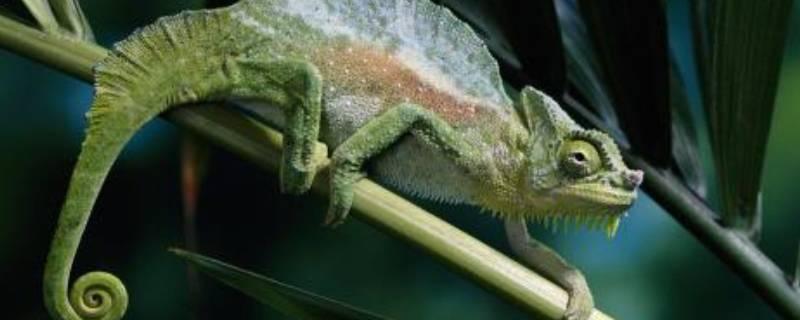 蜥蜴的尾巴有什么作用呢