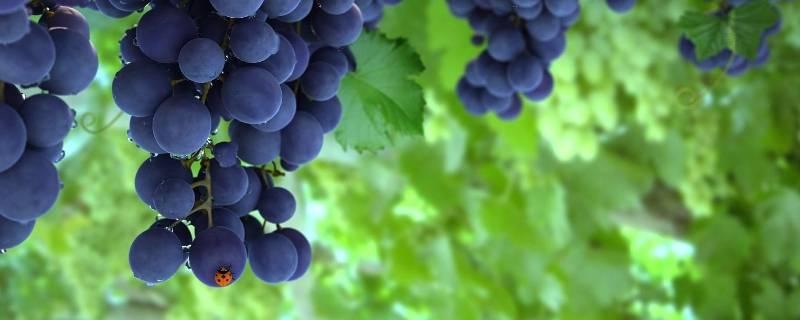 葡萄在哪个季节丰收