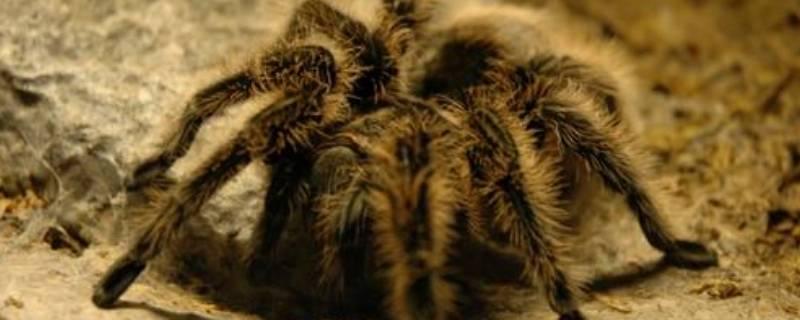 一种黑色蜘蛛叫什么