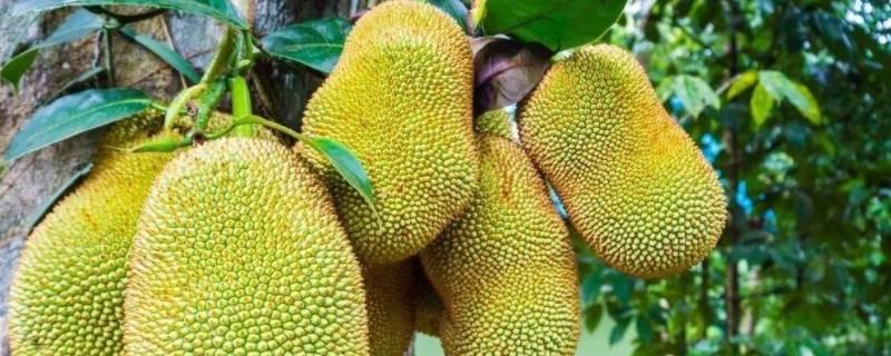 菠萝蜜是进口的还是国产的