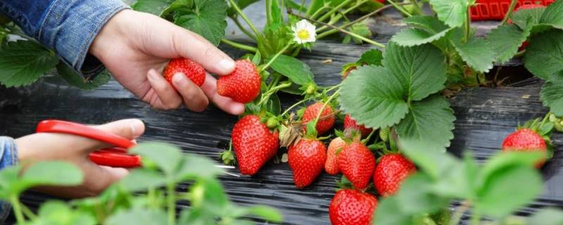 草莓要放冰箱冷藏保存吗