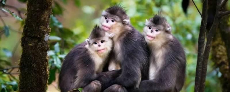 滇金丝猴的特点