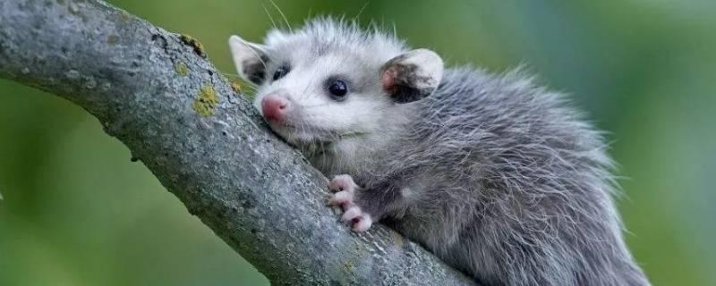 负鼠的特点
