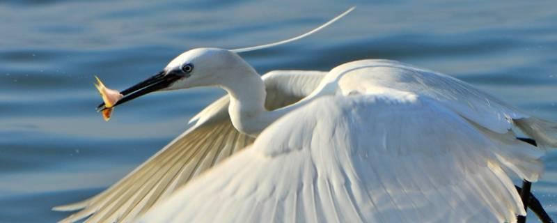 白鹭是什么鸟