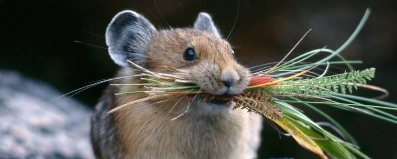 老鼠被粘鼠板粘住多久能死